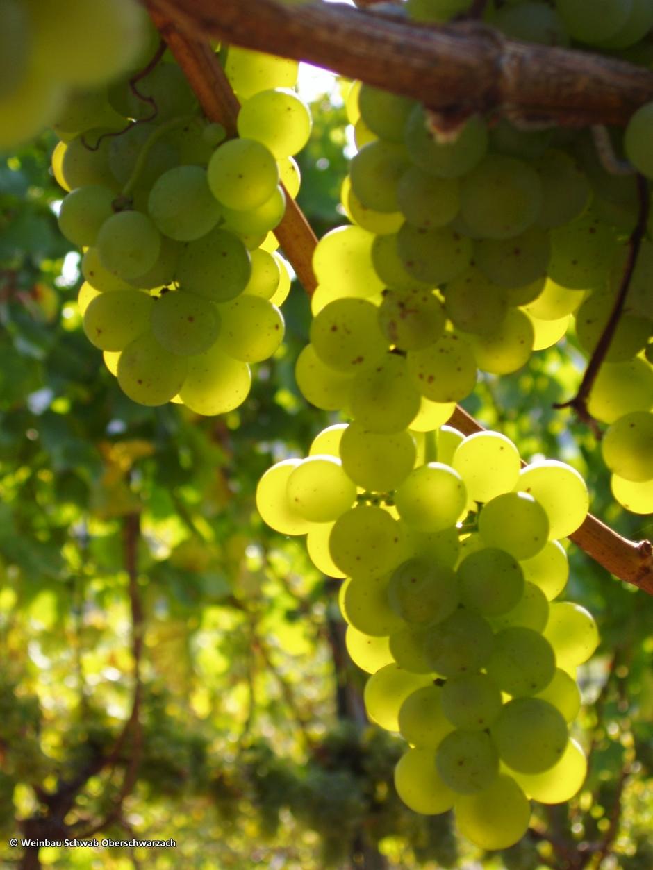 xopyright: Weinbau Schwab Oberschwarzach